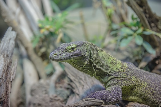Grey and Green Iguana