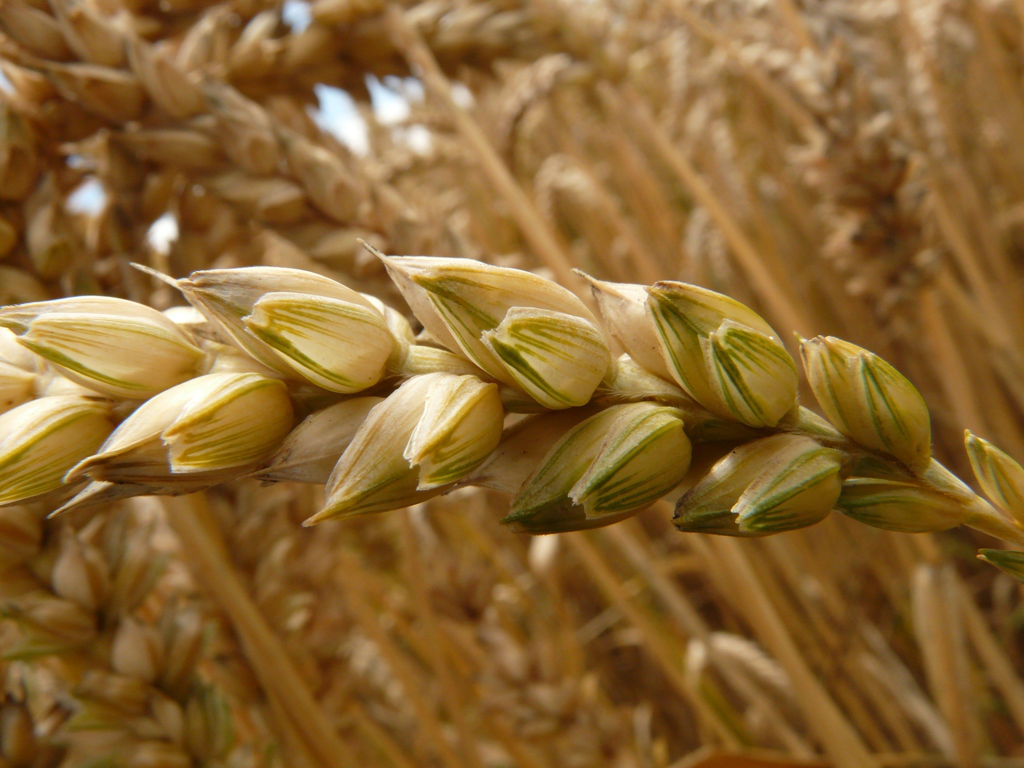 Gratis arkivbilde med åker, anlegg, gård, hvete