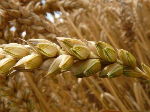 Photos gratuites de blé, centrale, céréale, clairière