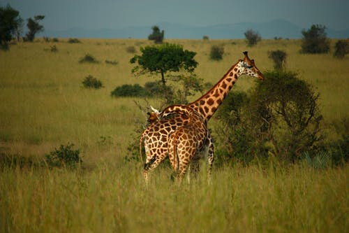 Giraffe On Green Grass Field