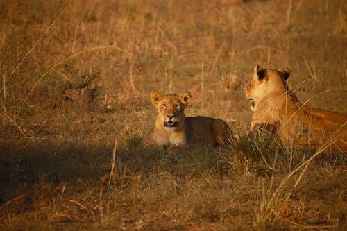 Brown Lioness on Brown Grass Field