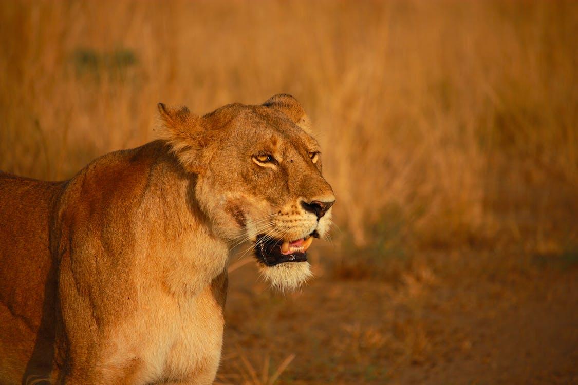 Lioness On Brown Grass Field