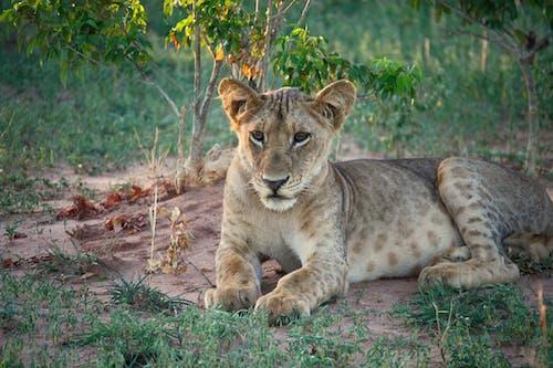 Imagine de stoc gratuită din animal, animal sălbatic, faună sălbatică, felină mare