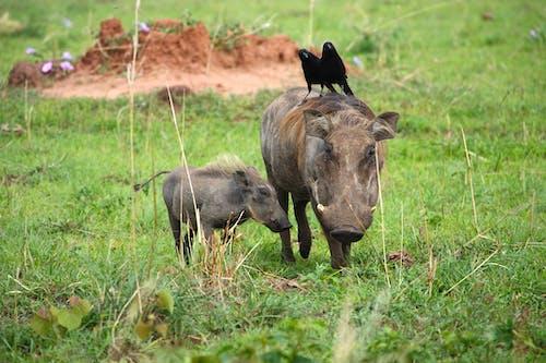 Wild Boar On Green Grass