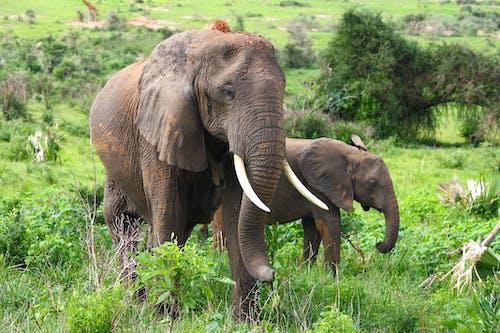 Foto d'estoc gratuïta de animal salvatge, animals, elefant africà, elefants