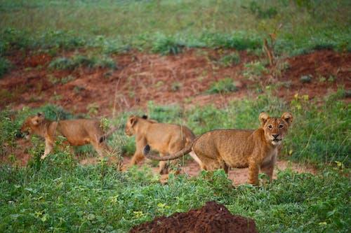 Lion Cubs On Green Grass Field