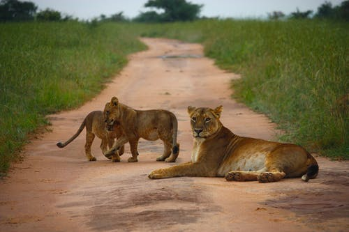 Lions On Lying In The Middle Of A Dirt Road