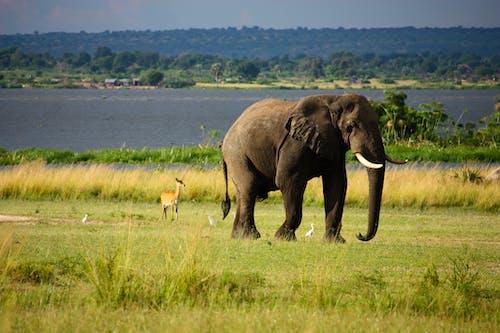 Δωρεάν στοκ φωτογραφιών με άγρια φύση, άγριο ζώο, αφρικανικός ελέφαντας, γήπεδο