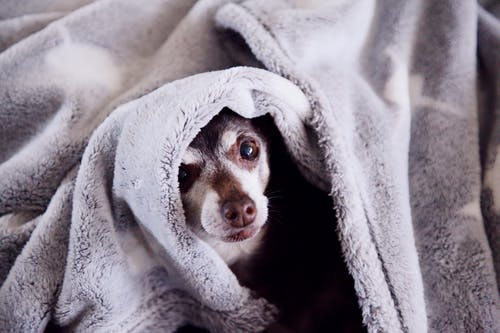 Free stock photo of background, blanket, brown dog, brown eyes