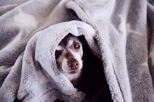 Fotobanka sbezplatnými fotkami na tému čivava, deka, domáce zvieratá, hnedé oči
