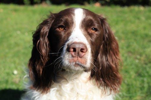 Free stock photo of chien, chien aux yeux bruns, pelouse