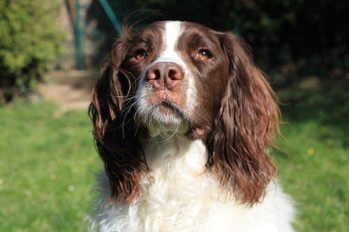 Free stock photo of chien, chien aux yeux bruns, chien brun