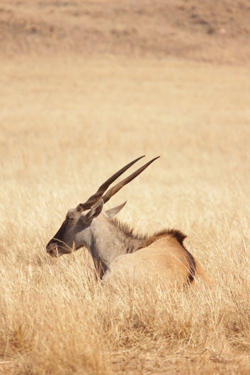 Kostenloses Stock Foto zu afrika, antilope, elenantilope