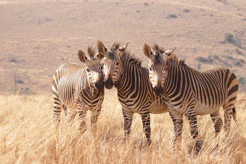 Zebra On Brown Grass Field