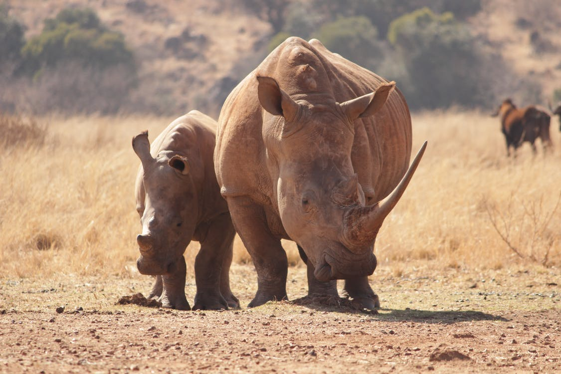Two Rhinoceros Walking On Brown Field