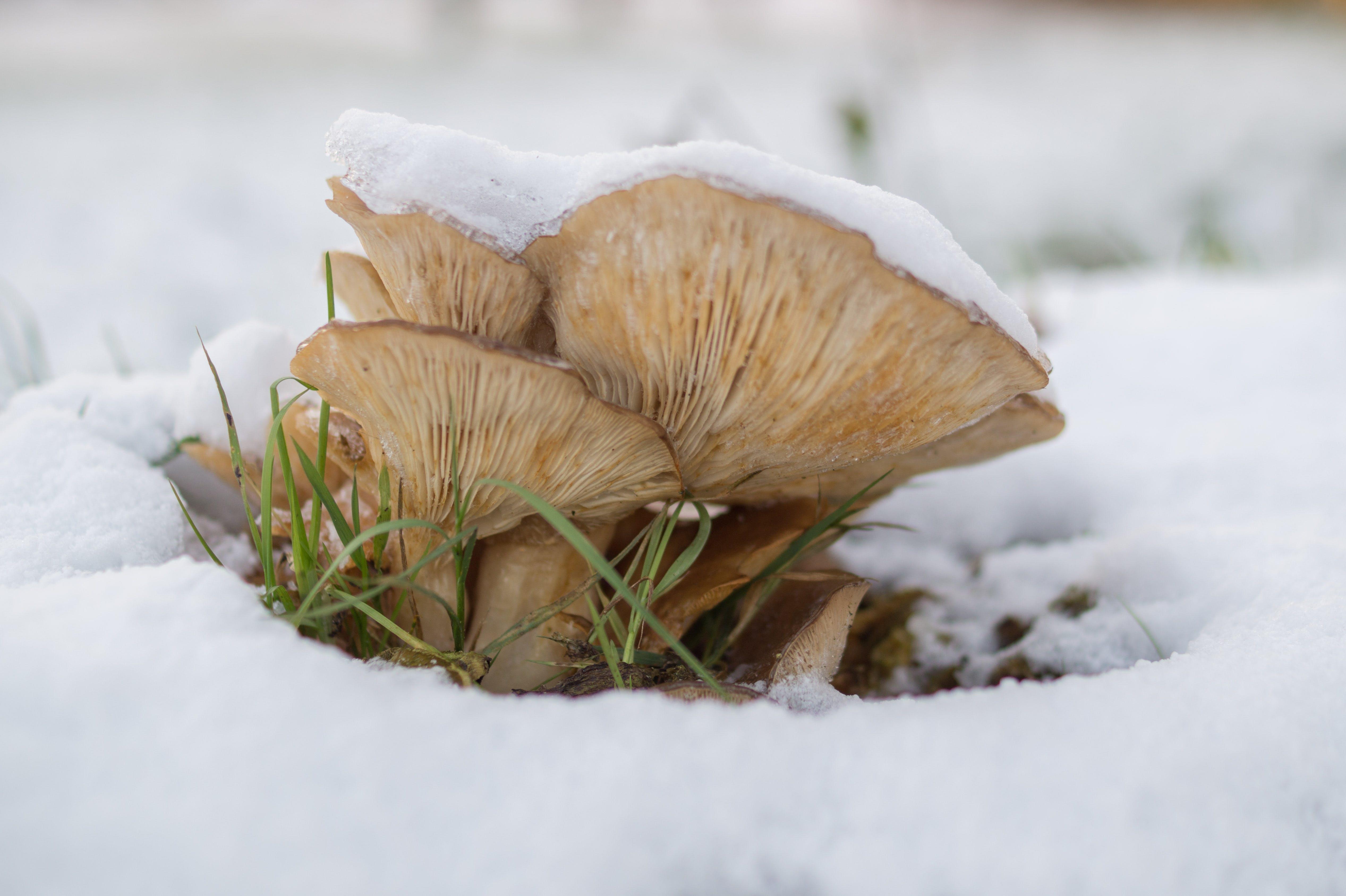 Brown Mushroom on Snow