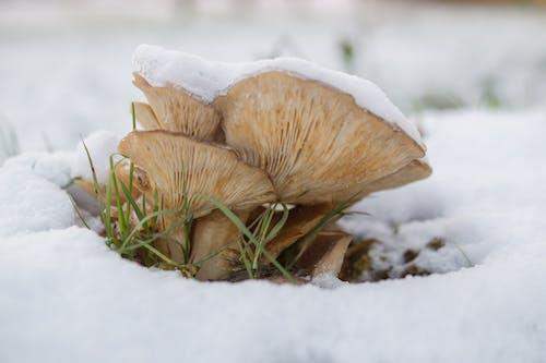 คลังภาพถ่ายฟรี ของ ฤดูหนาว, หนาว, หิมะ, เห็ด