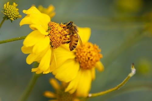 Gratis arkivbilde med bie, blomst, blomsterblad, blomstre