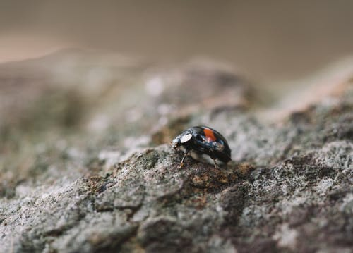 Black and Red Ladybug on Gray Rock