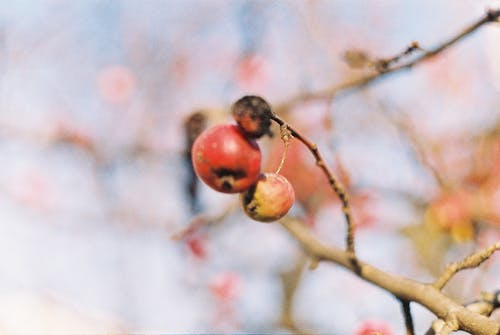 Free stock photo of analog photography, apple, frost, winter