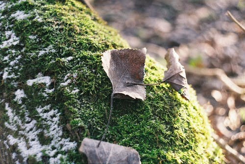 Free stock photo of analog photography, brown leaves, forest, frost