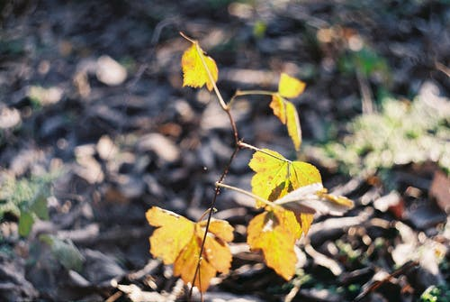 Free stock photo of analog photography, forest, frost, golden leaves