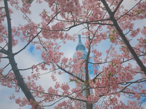 Ilmainen kuvapankkikuva tunnisteilla japani, kirsikankukat, kirsikankukka, skytree