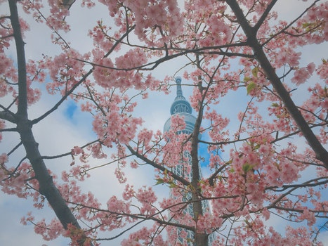 Free stock photo of sky, japan, tokyo, sakura