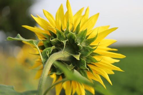 Kostenloses Stock Foto zu sommer, sonnenblumen