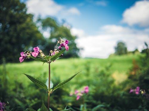 Foto d'estoc gratuïta de bokeh, camp de flors, camp verd, cel blau