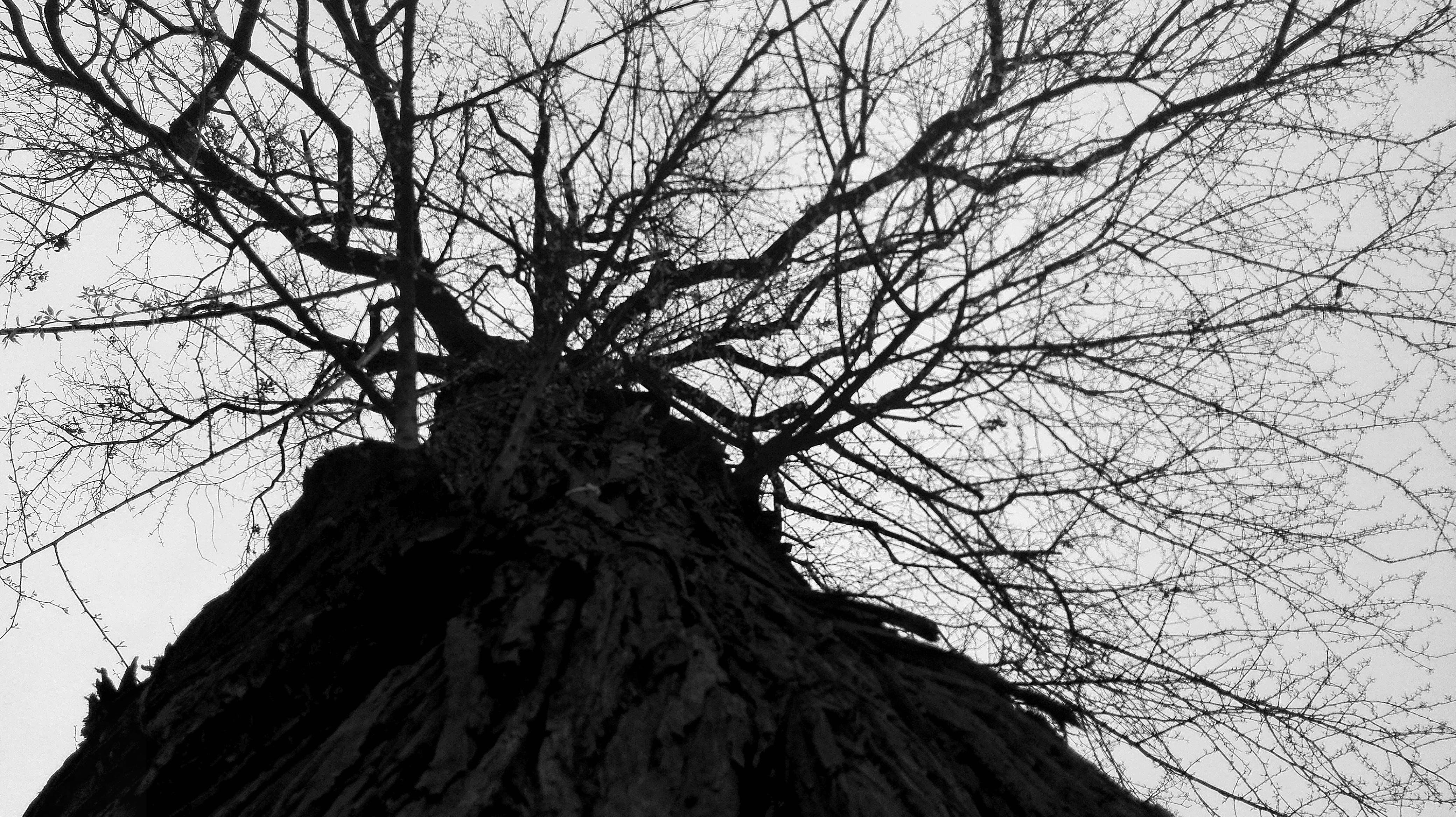 Free stock photo of black and white, tree