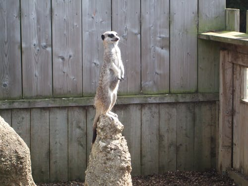 Free stock photo of lonely, meerkat