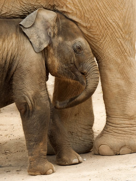 2 Brown Elephants on Brown Sand