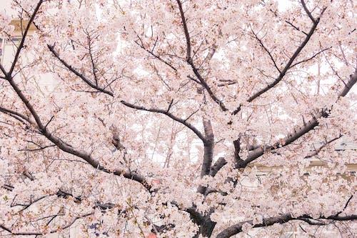 Darmowe zdjęcie z galerii z drzewo, flora, gałąź, japonia