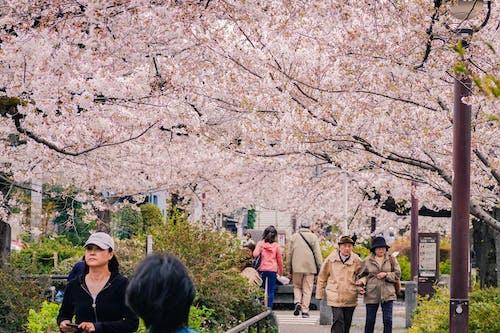 Ingyenes stockfotó cseresznyevirág, Japán, tokió témában