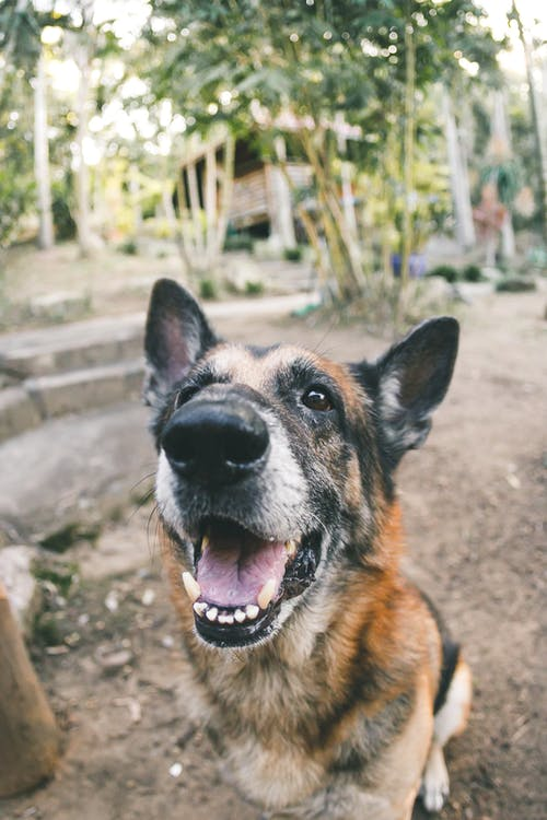 Free stock photo of animal portrait, dog, dog portrait, german shepherd