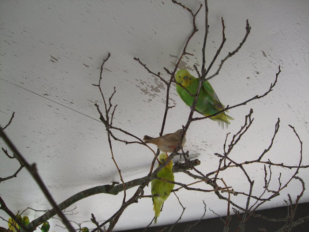Free stock photo of budgie, tree branch