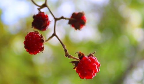 Foto profissional grátis de bagas, fruta, fruta da floresta, frutas vermelhas