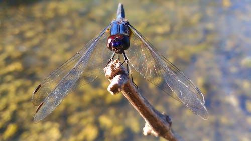 Foto profissional grátis de asa de libélula, erros, fotografia de insetos, inseto