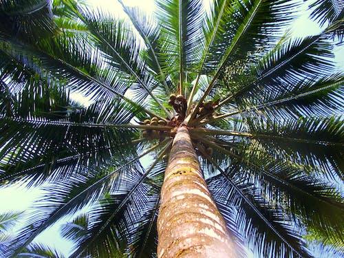 Foto profissional grátis de bolaangmongondow, coco, coqueiro, folhas de coco
