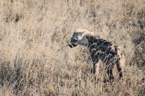 Free stock photo of africa, hyena, ngorongoro