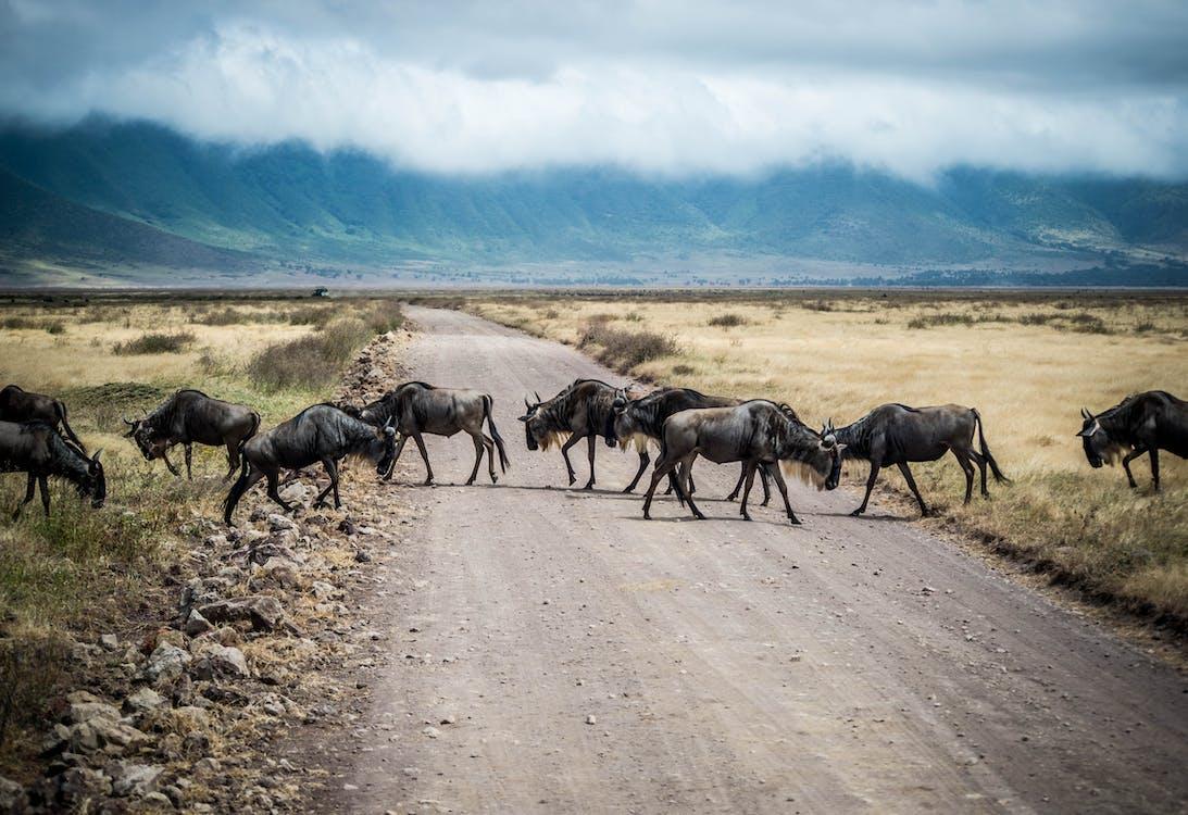 Ngorongoro, tanzania, Ñu, animales, safari