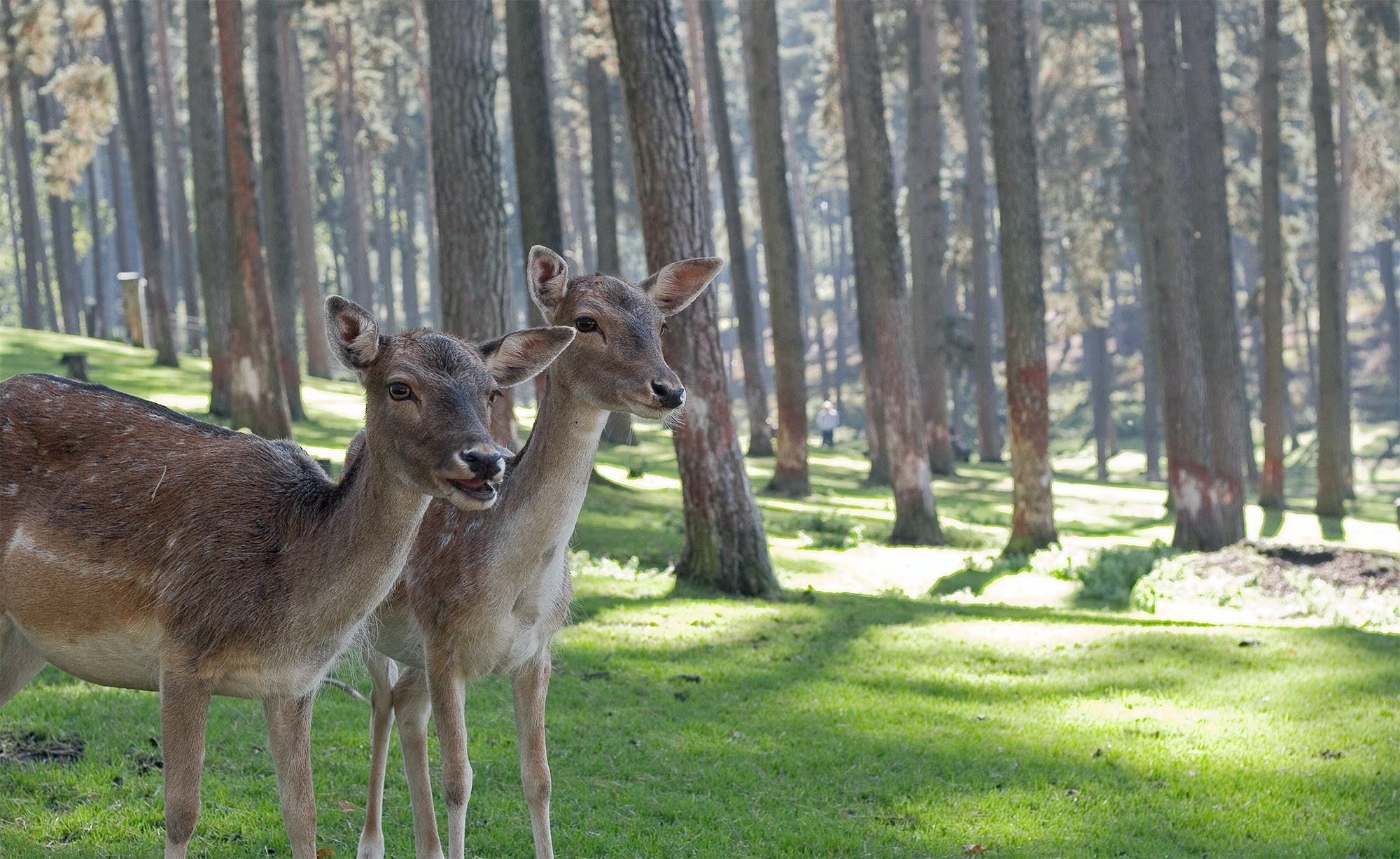 Two Brown Deer Standing in Forest