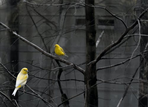 Two Yellow Birds Perched on Bare Tree