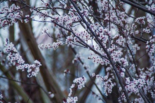 Darmowe zdjęcie z galerii z 春天 的 花朵, 白色 的 花, 花树
