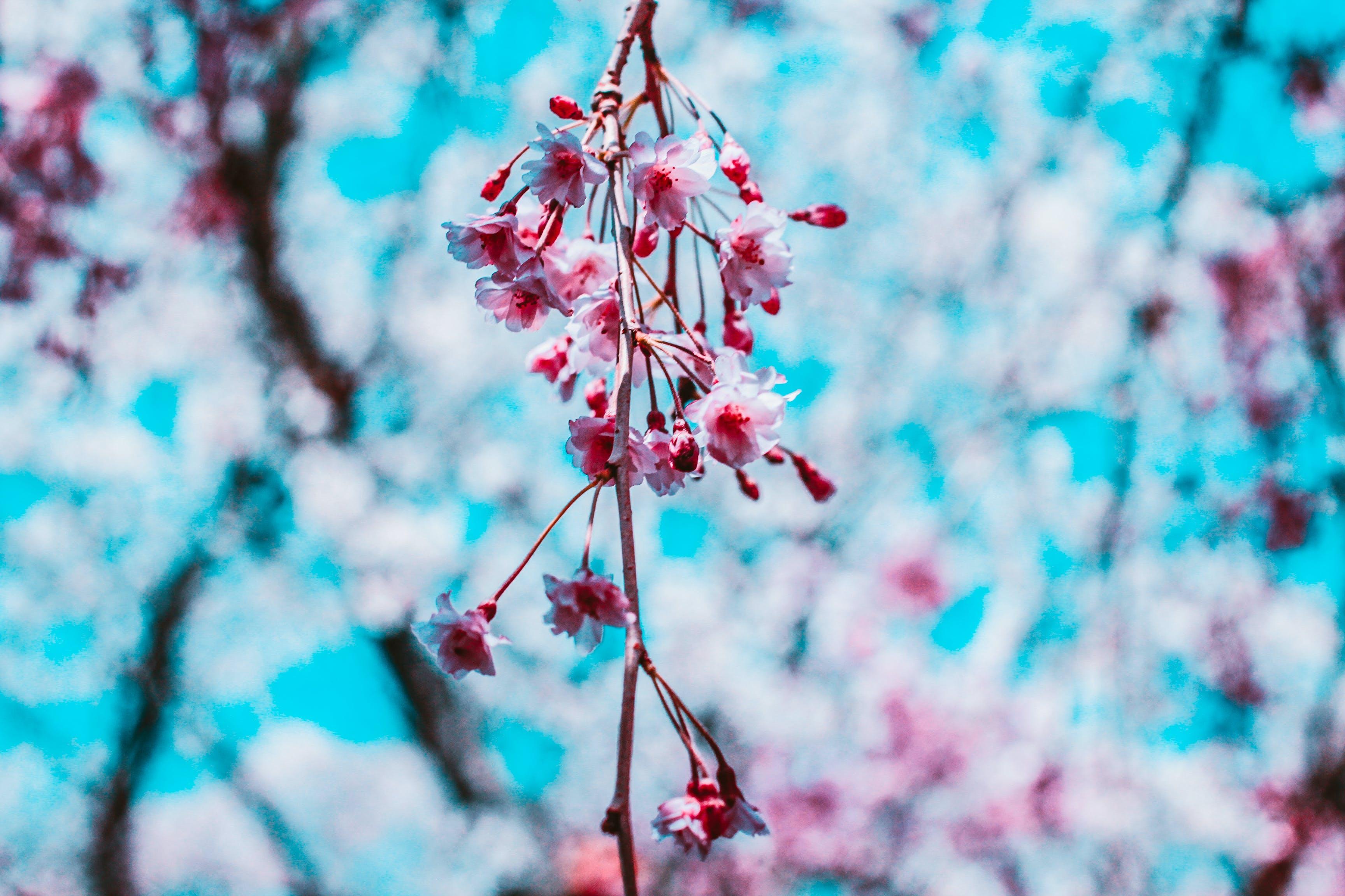 Free stock photo of beautiful flowers, cherry blossom, hanami, japan