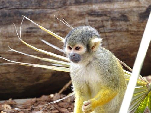 Photos gratuites de animal, animaux, animaux mignons, singe
