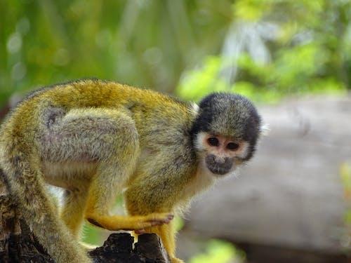 Immagine gratuita di animale, animali, animali carini, scimmia