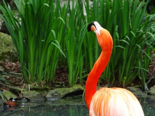 Foto profissional grátis de animais, animal, flamingo, jardim zoológico