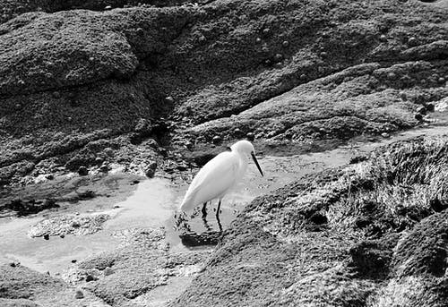 Photos gratuites de ã © chassier, aigrette, animal sauvage, animaux